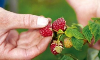 Як правильно садити малину