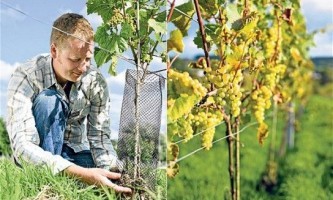Як правильно садити виноград восени - посадка винограду восени