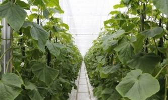 Як правильно удобрювати огірки