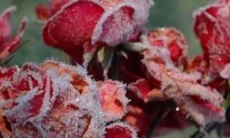 Як правильно утеплювати садові троянди, щоб вони не замерзли взимку