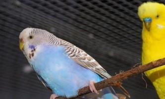 Як правильно вибрати папугу: важливі поради