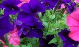 Як правильно вирощувати розсаду петунії