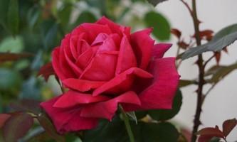 Як правильно виростити троянду з саджанця
