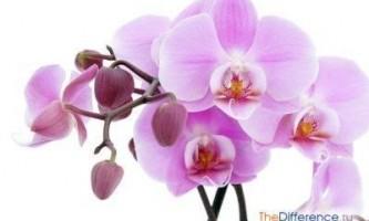 Як розмножуються орхідеї?