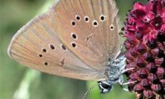 Як зберегти зникаючих метеликів в європі?