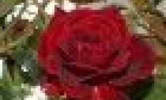 Як доглядати за кімнатної трояндою в горщику