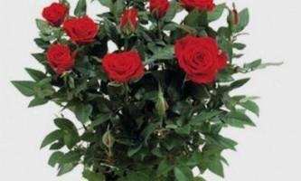 Як доглядати за кімнатної трояндою