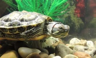 Як доглядати за красноухой черепахою