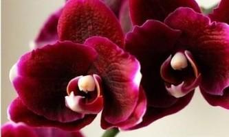 Як доглядати за орхідеєю в горщику?