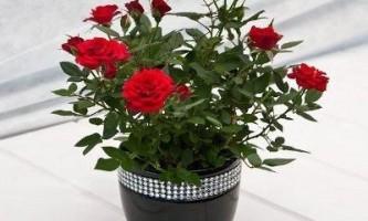 Як доглядати за трояндою в горщику