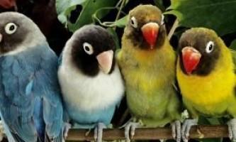 Як вибрати папугу здатного говорити?