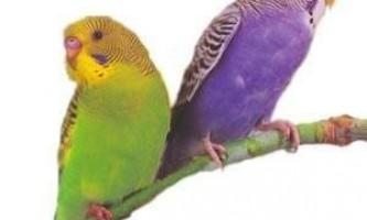 Як вибрати хвилястого папугу