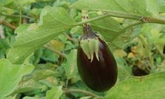 Як вирощувати баклажани у відкритому грунті: висадка та догляд