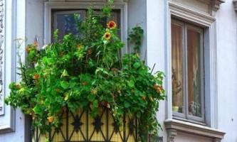 Як вирощувати огірки на балконі