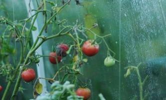 Як вирощувати помідори в теплиці: посадка, догляд і зберігання