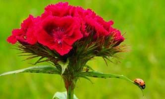Як вирощувати турецьку гвоздику