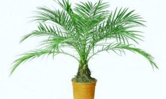 Як виростити фінікову пальму?