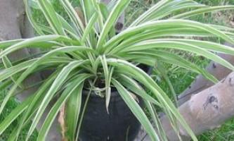 Як виростити і доглядати за кімнатною рослиною хлорофітум