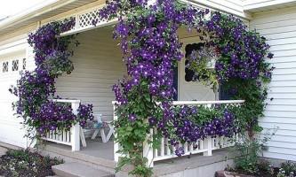 Як виростити клематис на заздрість сусідам по дачі