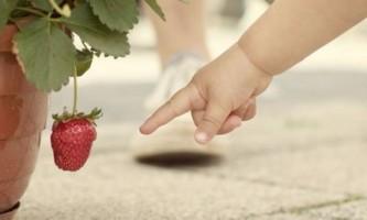 Як виростити полуницю на балконі
