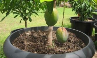 Як виростити манго з кісточки?