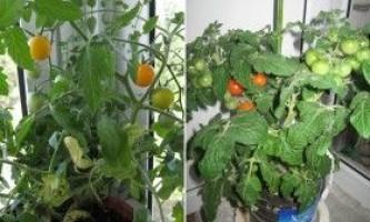 Як виростити помідори будинку на балконі або підвіконні