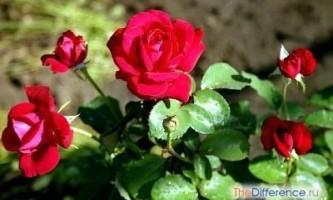 Як виростити троянду з букета