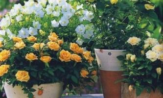 Як виростити троянду в горщику?