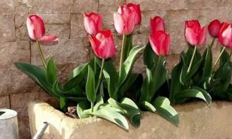 Як виростити тюльпани в горщику
