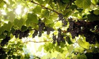 Як виростити виноград в домашніх умовах