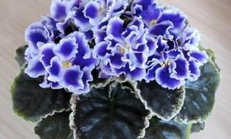 Як змусити цвісти фіалку? Причини відсутності цвітіння!