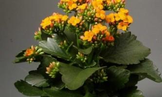 Як змусити цвісти каланхое?