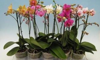Як змусити орхідею цвісти?