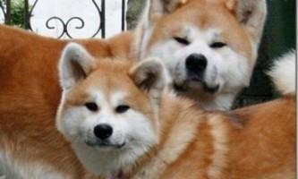Яка порода собаки у фільмі «хатико»?