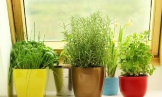 Яку зелень можна виростити на підвіконні взимку?