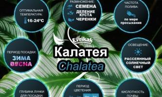 Калатея: вирощування і догляд (інфографіка)
