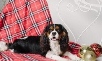 Кавалер кінг чарльз спанієль: правила по догляду за твариною