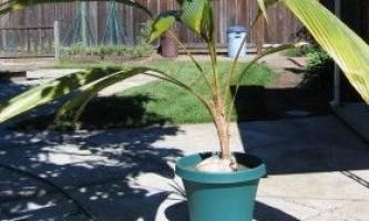 Кокосова пальма в домашніх умовах: реально чи ні?