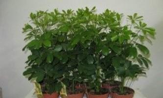 Кімнатна рослина - шеффлера