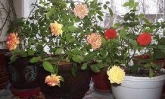 Кімнатні троянди: догляд, розмноження