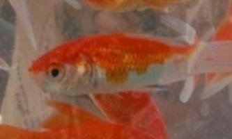 Конкурс краси золотих рибок пройшов в китаї