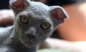 Кішки породи український левкой