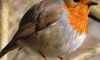 Барвисті птахи частіше страждають через проблеми із зором
