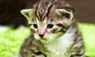 Лікувальні властивості кішок