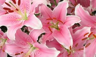 Лілія: як виростити витончений квітка на дачній ділянці