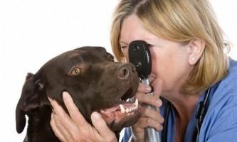 Лишай у собаки, ніж лікувати?