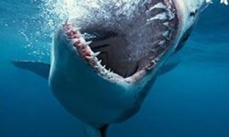 Цікаві факти про білих акул