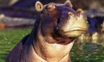 Цікаві факти про гіпопотама