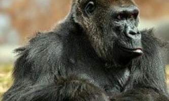 Цікаві факти про горил