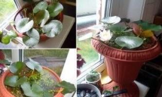 Лотос: вирощування в домашніх умовах